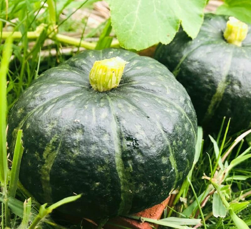 時短DE野菜のかぼちゃ収穫風景
