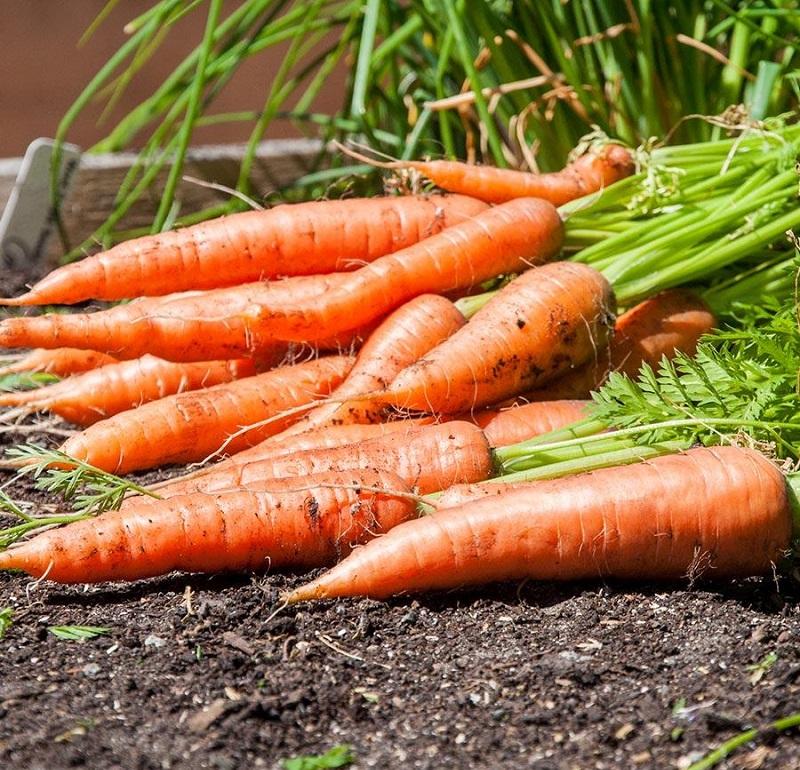時短DE野菜 人参収穫風景