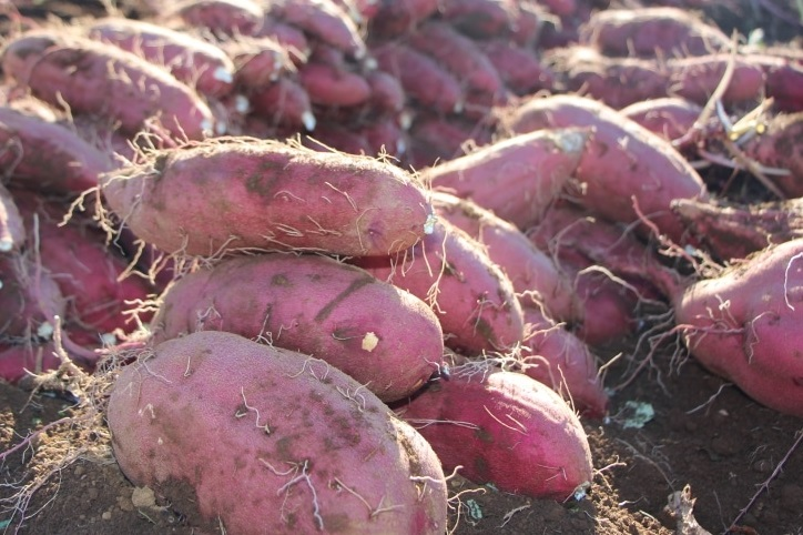 時短DE野菜さつま芋収穫風景